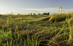 Rice field. Rural field in havest season stock photography