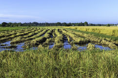 Rice field. Rural field in havest season Royalty Free Stock Photography
