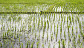The rice field Stock Photo