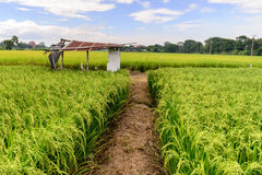 Rice field with rusty roof cottage, Suphan Buri, Thailand Royalty Free Stock Photos