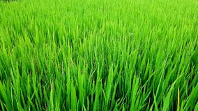 Rice in field, Sa Pa Valley, Vietnam Royalty Free Stock Images