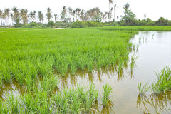Rice field. The scenery of rice field royalty free stock photography