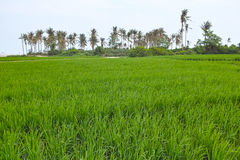 Rice field. The scenery of rice field royalty free stock image