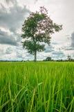 Rice field Stock Photos