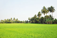 Rice field scenery with coconut trees Stock Image