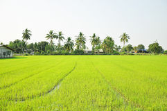 Rice field scenery with coconut trees Stock Photography