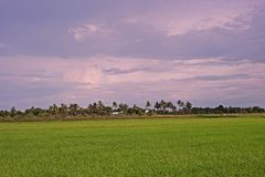 Rice field scenery Royalty Free Stock Photo