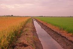 Rice field scenery Royalty Free Stock Photos