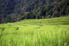 Rice field scenery in Thailand Stock Images