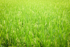 Rice field seamless pattern Royalty Free Stock Photography
