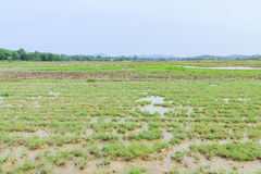 Rice field before seeding season Royalty Free Stock Image