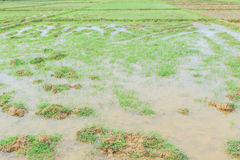 Rice field before seeding season. In Thailand Stock Images