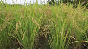 Rice Field. Field of the Rice Seedlings stock video footage