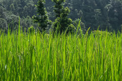 Rice field. With selective focus Stock Images
