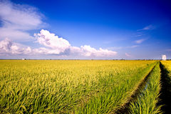 Rice Field Series 6 royalty free stock images