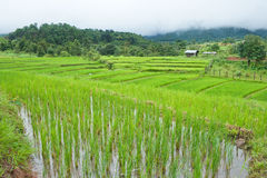 Rice field with shack. On mountain background Stock Photo