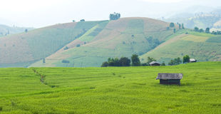 Rice field with shack. On mountain background Stock Images