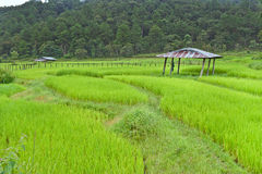 Rice field with shack. On mountain background Stock Image
