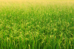 Rice field. - (Shallow of focus) royalty free stock image