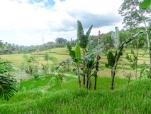 Indonesia - Rice field and banana trees. Rice field shining in bright green colors in Indonesia. Tetebatu is Lomboks rice terrace heaven royalty free stock photos