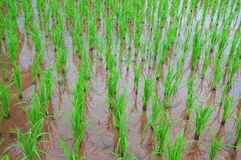 Rice field show agriculture background Stock Image