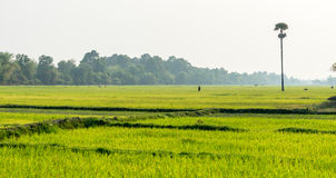 Rice field in Siem Reap, Cambodia Apr 2016 Royalty Free Stock Images