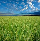 Rice field and sky Royalty Free Stock Photography
