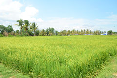 Rice field Royalty Free Stock Image