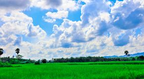 Rice field and sky royalty free stock images