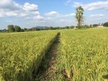 Rice field. Sky tree landscape stock photos