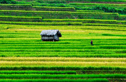 Rice field with small house in Y Ty, northern Vietnam Stock Image
