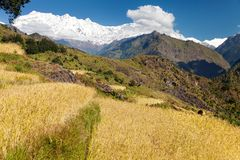 Rice field and snowy Himalayas mountain in Nepal Royalty Free Stock Images