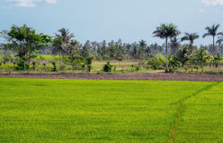 Rice field. Rice field somewhere on the Dominican Republic royalty free stock images