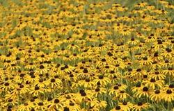 Field of Black Eyed Susan Royalty Free Stock Photo