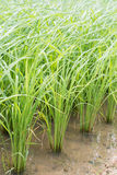 Rice field. South of Thailand Stock Photo