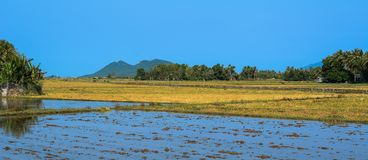 Rice field in Southern Vietnam royalty free stock photos