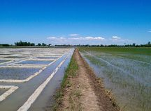 Rice field with spirit and blue sky Stock Photo