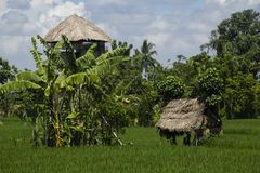 Rice field with spirit's houses. Royalty Free Stock Image
