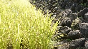 Rice field and stone wall stock footage