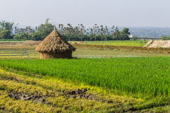 Rice field with straw in thailand Royalty Free Stock Image