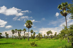 Rice field and the sugar palm. Rice field and many sugar palms in petchaburi thailand Stock Photography