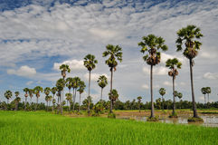 Rice field and the sugar palm. Rice field and many sugar palms in petchaburi thailand Royalty Free Stock Photography