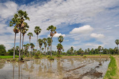 Rice field and the sugar palm. Rice field and many sugar palms in petchaburi thailand Royalty Free Stock Photos