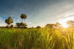 Rice field with sugar palm tree Royalty Free Stock Image