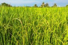 Rice field in summer Stock Photo
