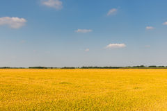 Rice field in summer, Lomellina (Italy) royalty free stock photos