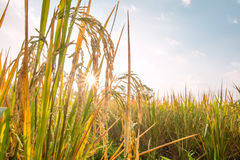 Rice in field with sun beam Stock Photos