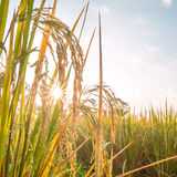 Rice in field with sun beam Royalty Free Stock Photo