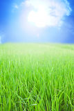 Rice field with sun on blue sky Royalty Free Stock Image