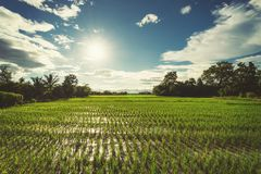 Rice field and sun blue sky with lens flare. Rice field and sun blue sky with lens flare Royalty Free Stock Photo
